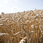 Wheat prepared for the future climate