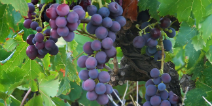 Good prospects for wine produced in Denmark